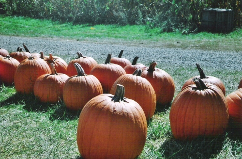 pumpkins-argus-003