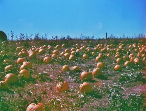 pumpkins-argus